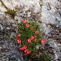 Photos: 岩ツツジ