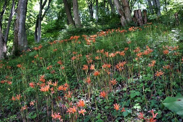 オレンジ色の花を咲かせるキツネノカミソリの群生地