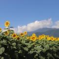 Photos: ヒマワリ畑と北アルプス