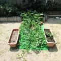 西瓜とトマトの脇芽