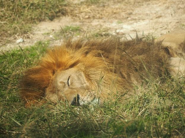 お昼ねライオンくん
