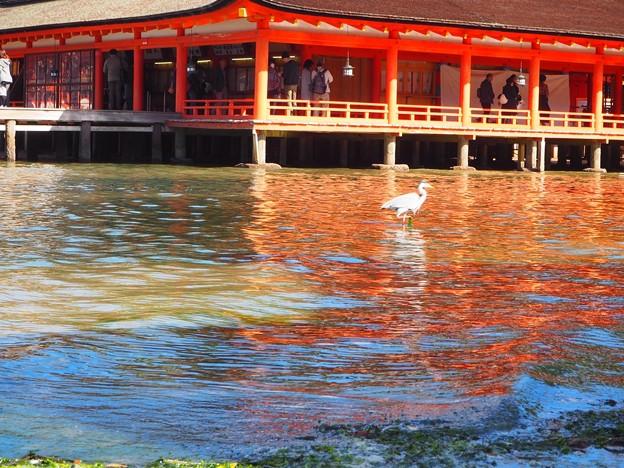 厳島神社と鷺君