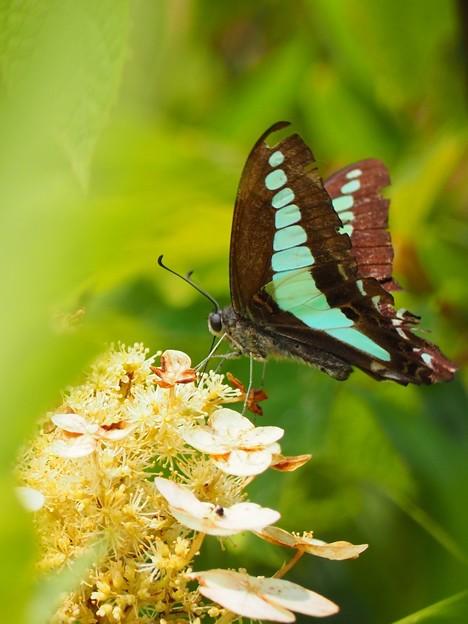 蝶とあじさい