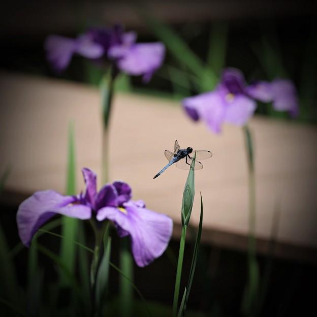 紫菖蒲蜻蛉図