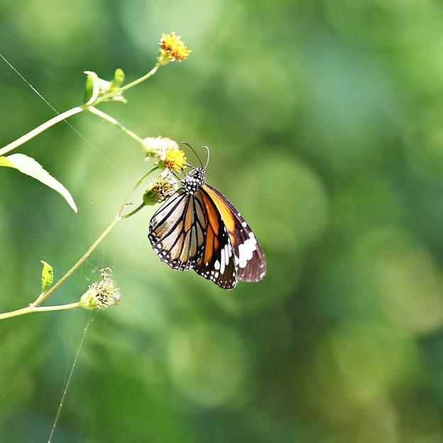 ミヤコ蝶々