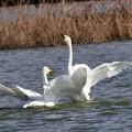 写真: 秘写・白鳥の沼
