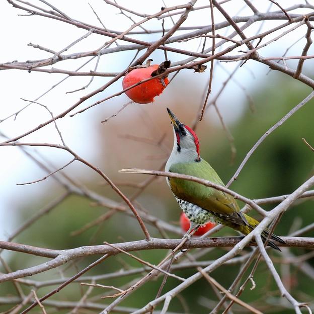写真: 柿枝の王子