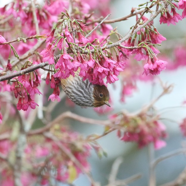 桜シマ part2