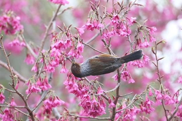 萌えて上がるは、桜シマ