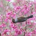 Photos: 萌えて上がるは、桜シマ