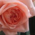 写真: 0118 バラ アンブリッジ・ローズ (2)