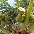 写真: ココナッツ
