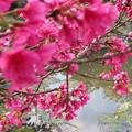 写真: 池の桜