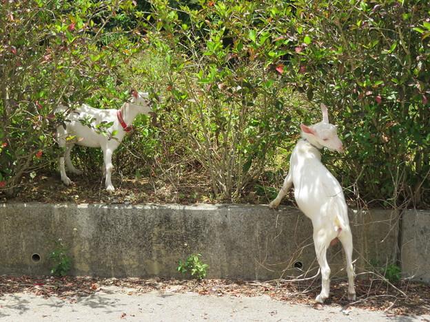 Photos: ハイビスカスを食べるヤギ