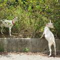 写真: ハイビスカスを食べるヤギ