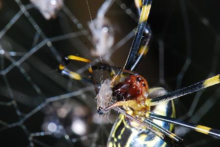 ジョロウグモの画像 p1_2