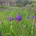 写真: 14052011_八橋かきつばた園