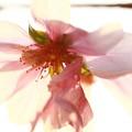 ~ジュウガツ桜~3