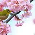 写真: *カワズ桜とメジロ*