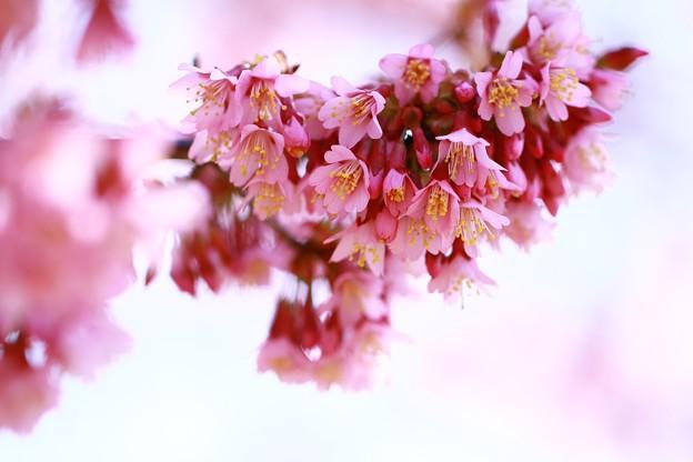 *桜、おかめ*