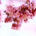 写真: *桜、おかめ*