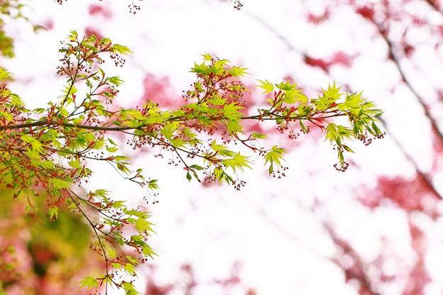 *春のモミジ*