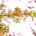 写真: *春のモミジ*