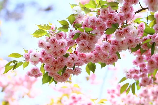 写真: 桜フゲンゾウ