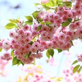 桜フゲンゾウ