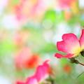 写真: つるバラ