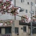 写真: 今日の桜