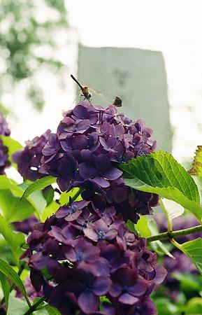 紫陽花と蜻蛉