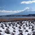 写真: 雪のラベンダー畑。