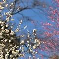 写真: 白梅、紅梅。