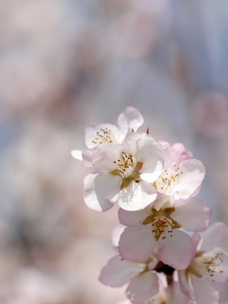 淡~い花咲く。