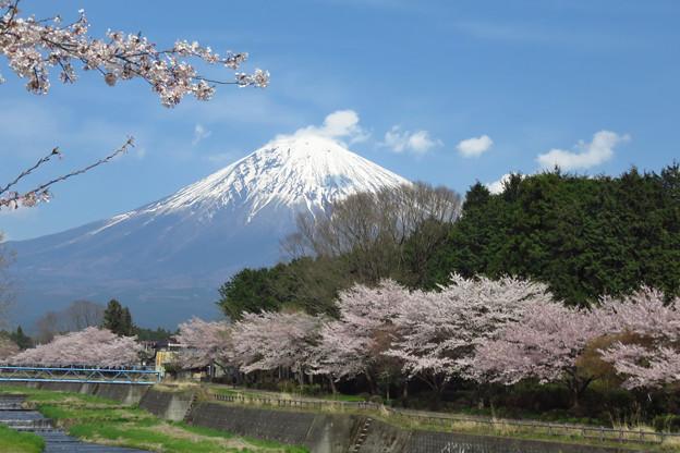 川沿いの桜並木。