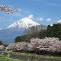 写真: 川沿いの桜並木。