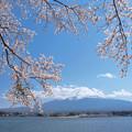 河口湖にも桜おりて。