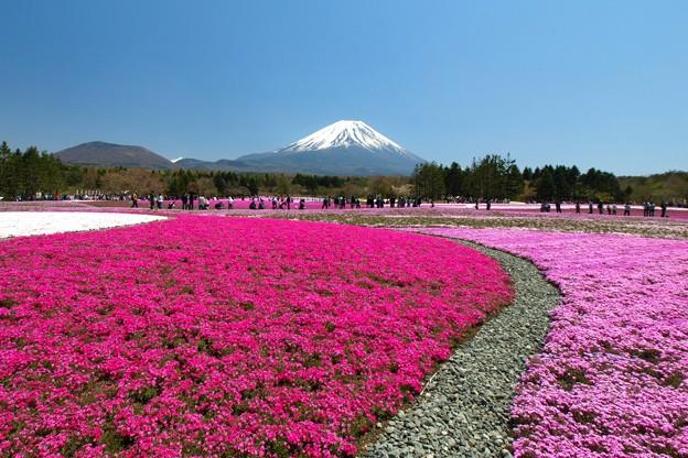 芝桜日和かな。