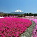Photos: 芝桜日和かな。