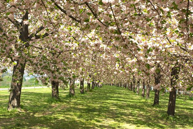 写真: 八重桜のトンネルを歩いてみたい。