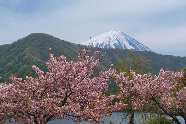まだ残る八重桜。