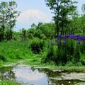 小さな池のアヤメたち。