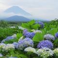 写真: アジサイ咲くころに。