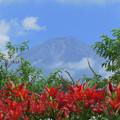 写真: 山開きの日にユリの咲きたる。