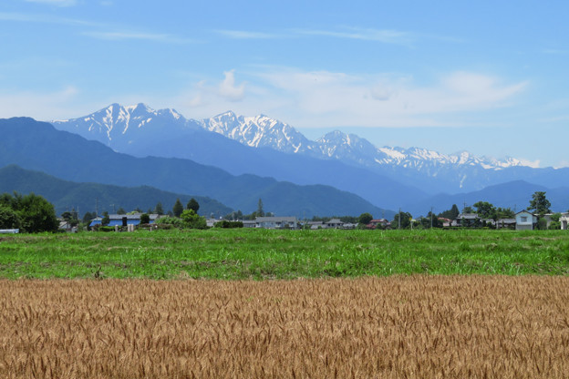 麦畑と北アルプス。