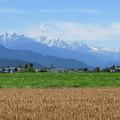 Photos: 麦畑と北アルプス。