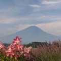 写真: ラベンダー畑のゆりの花。