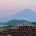 Photos: 夕暮れの花小富士。