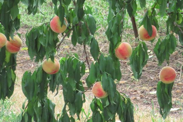 桃がなりましたよ。